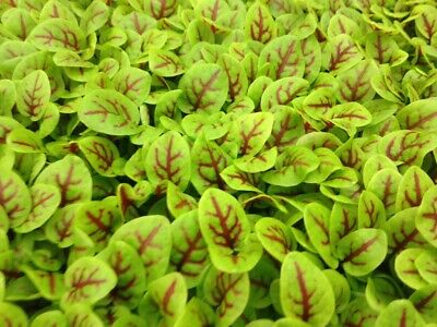 £3.99 • Buy Sprouting Red Veined Sorrel Microgreens Seeds - 500 Microgreen Seeds Approx.