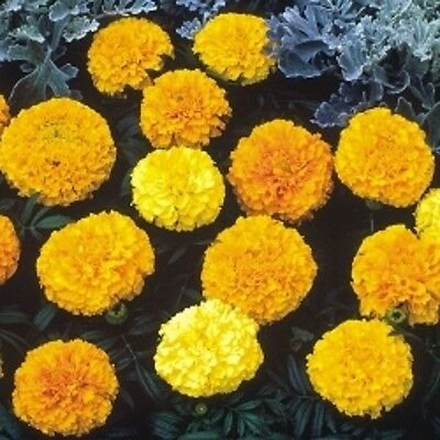 Marigold African - Sunspot Mixed - 100 Seeds • 0.99£