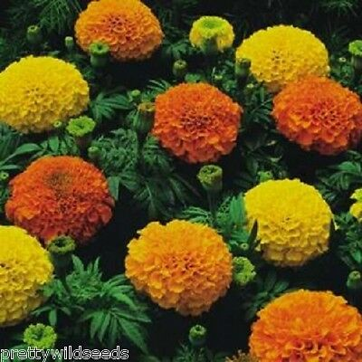 African Marigold - Crackerjack Mixed - 1,040  Fresh Seeds • 2.35£