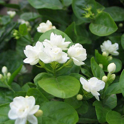 $1.61 • Buy 20 Pcs Jasmine Plant Seeds Perennial Flowers Seeds Home Garden Decor Pure White