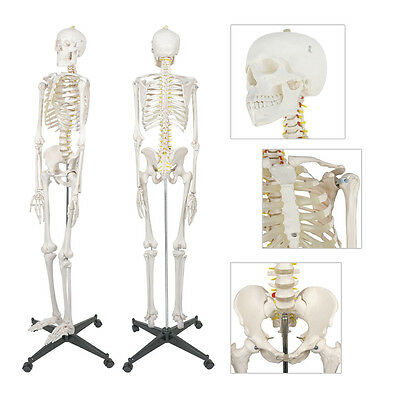 $107.72 • Buy New 6FT Life Size Human Anatomical Anatomy Skeleton Medical Model + Stand 70