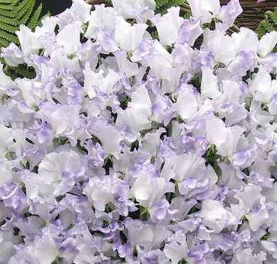 AU4.20 • Buy F0486 Sweet Pea Ripple Lilac X10 Seeds Scented Winter Flowering Beneficial