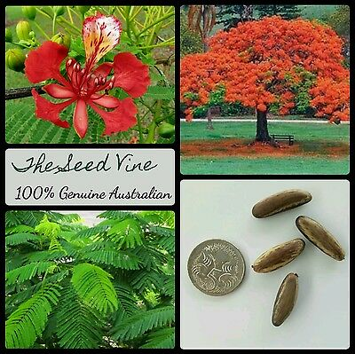 10+ ROYAL POINCIANA TREE SEEDS (Delonix Regia) Bonsai Red Flowering Tropical  • 3.88£
