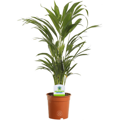 £12.99 • Buy Areca Palm Lutescens - 1 Plant - House / Office Live Indoor Pot Plant Tree