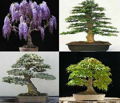 £4.89 • Buy Mix Of 40 Tree Seeds. 10 Of Each Variety. Tree Seeds That Can Be Used For Bonsai