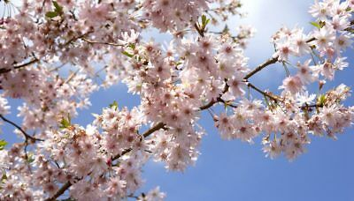 20 X Wild Cherry Tree Seeds, Gean (prunus Avium) Tree Seeds. • 3£
