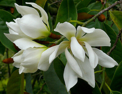 $4.50 • Buy Michelia Excelsa Tree 10 Seeds, Very Fragrant Flowers Temple Magnolia Doltsopa