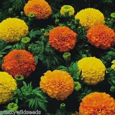 AFRICAN MARIGOLD - CRACKERJACK MIXED 100g  FRESH SEEDS Wholesale Bulk Allotment • 8.99£