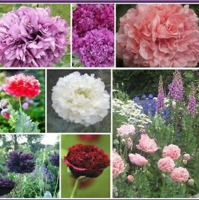 £2.90 • Buy 100 Double Poppy Peony Mix Flower Seeds Free Shipping Fresh Seed