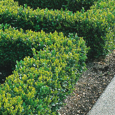 Box Hedging Plants 20-40cm Buxus Sempervirens Dense Evergreen Hedge Potted • 24.99£