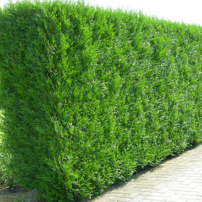 Western Red Cedar Hedging Plants 20-40cm Thuja Atrovirens Evergreen Hedge Potted • 39.99£