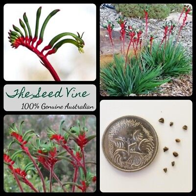AU4 • Buy 30+ RED & GREEN KANGAROO PAW SEEDS (Anigozanthos Manglesii) Drought Tolerant