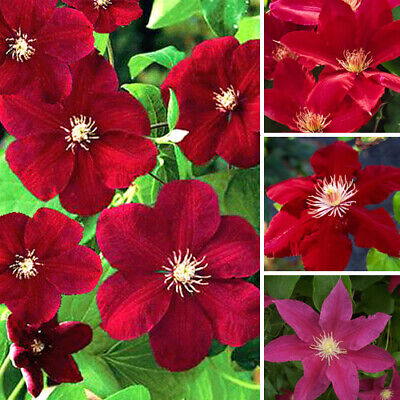 1 X Clematis Dark Red Coloured Large Flowering Climber Hardy Plant In Pot • 9.99£