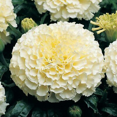 AFRICAN MARIGOLD (Tagetes Erecta Cream White) 40 Seeds (#1503) • 1.39£