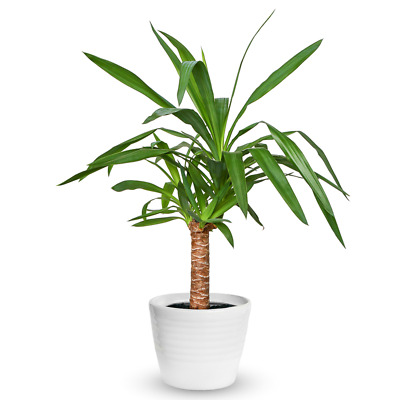Yucca Elephantipes Houseplant - Decorative Live Indoor Potted Tree In 12cm Pot • 12.99£