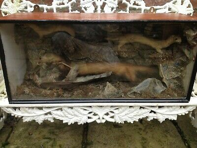 Victorian Taxidermy Stoats In Case With Bird. • 285£