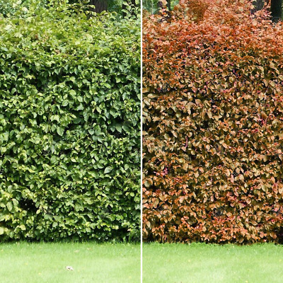 Fagus Sylvatica 'Common Beech' Bare Root Hedge Green Hedging Tree Plants • 26.29£