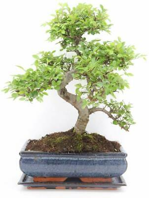 CHINESE ELM BONSAI TREE  - All Sizes - You Choose • 34.99£