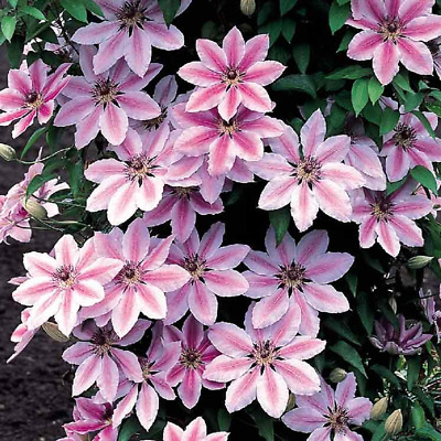 Clematis 'Nelly Moser' Hardy Climber Plant Colourful Flowering Shrub | 9cm Pot • 11.99£