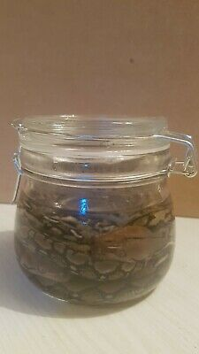 2 X Reticulated Pythons In A Jar.  Taxidermy.  Wet Specimen  • 40£