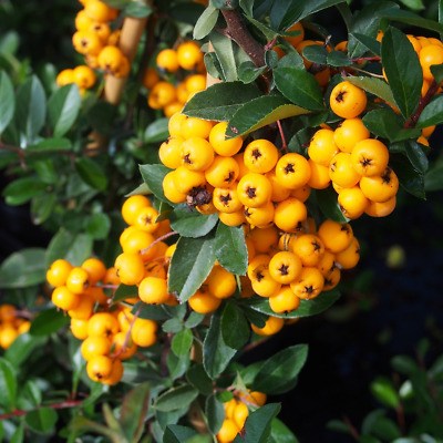 Scarlet Firethorn Hedging Plants 20-40cm Pyracantha Evergreen Hedge Potted • 34.99£
