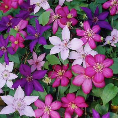 Clematis Tricolour 3 Plants 3 Colours Mixed Display Garden Flower Plant In Pot • 21.99£