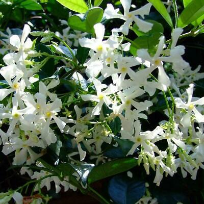 $1.29 • Buy 50Pcs/Pack White Climbing Jasmine Seeds Fragrant Plant Decor Garden M7X4