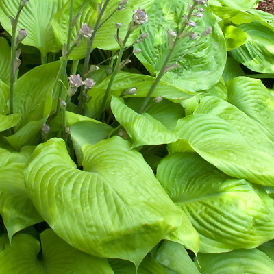 Hosta 'Sum And Substance' Herbaceous Perennial Hardy Plant In 9cm Pot • 8.99£