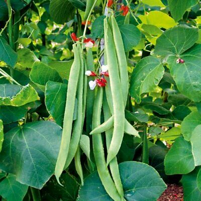 Runner Bean Painted Lady X 25 Seeds (Red And White Flowered) • 1.99£
