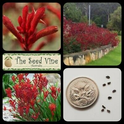 AU4 • Buy 20+ RED KANGAROO PAW SEEDS (Anigozanthos Flavidus Red) Drought Tolerant Native