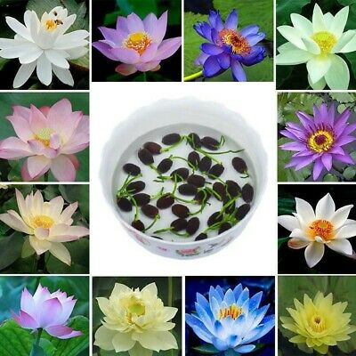 $ CDN6.17 • Buy 10 X Bonsai Lotus Water Lily Flower Bowl Pond Fresh Seeds Lotus