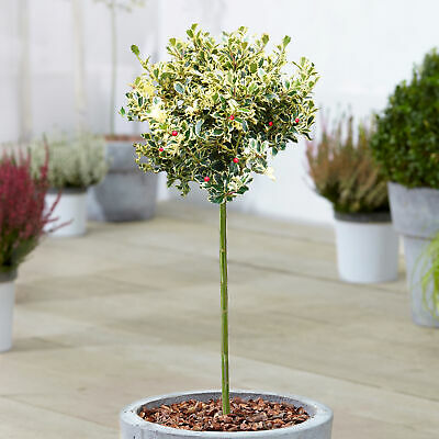Ilex Golden King Tree | Potted Evergreen Ornamental Holly Trees For Small Garden • 34.99£