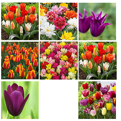 Garden Favourite Tulips Spring Flowering Bulbs Plant August To December  • 4.99£