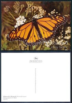 01/06 : Picture Postcard Milkweed Or Monarch Butterfly • 1.99£