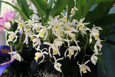 AU18.50 • Buy Orchid Plant Coelogyne Unchained Melody