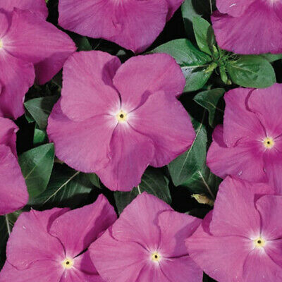 AU3 • Buy F0587 VINCA HEATWAVE ORCHID X25 Seeds COLOURFUL BORDERS BLOOMS SPRING TO AUTUMN