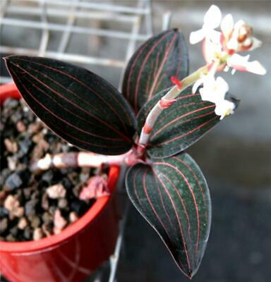 AU17.50 • Buy ORCHID -Haemaria Discolor   Jewel Orchid' - SPECIES