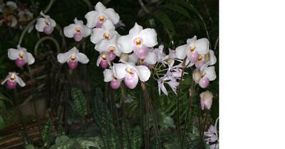 AU31 • Buy Orchid Species Paphiopedium Delenatii