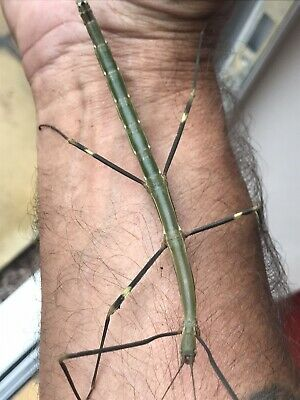 Stick Insects Lonchodiodes Sp Ilocos X 40 Eggs • 3.50£