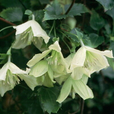 £18.95 • Buy Clematis Cirrhosa Ourika Valley Evergreen Winter Flowering Climbing Plant