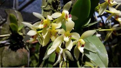AU40 • Buy Orchid Species Pteroceras Unguiculatum