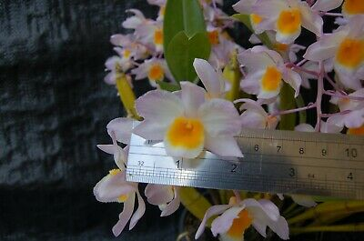 AU30 • Buy Orchid Species Dendrobium Farmeri