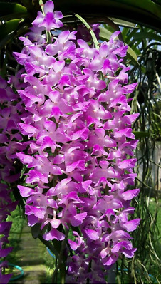 AU25 • Buy Orchid Species Aerides Multiflora