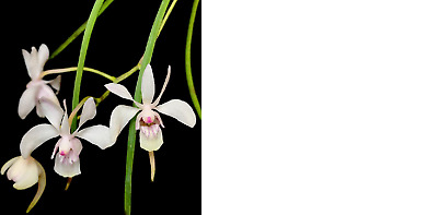 AU25 • Buy Orchid Species Holcoglossum Lingulatum