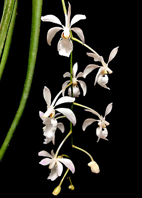 AU25 • Buy Orchid Species Holcoglossum Subulifolium