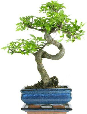 Bonsai Tree - Chinese Elm In Ceramic Pot With Matching Drip Tray • 24.99£