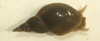 £6 • Buy Great Pond Snails. 3 For £6 (excludes Shipping) 🐌🐌