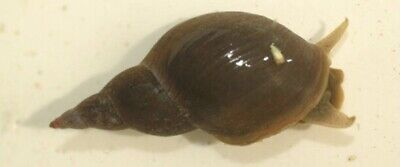 £15 • Buy Great Pond Snails. 7 For £15 Inc. Shipping. 🐌🐌🐌