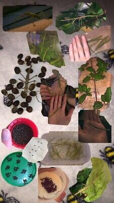 Indian Stick Insect Eggs • 3£