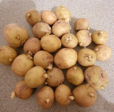 Baby Potato Seeds, 6 PCS Ready For Planting. • 5.50£